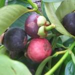 Kinh nghiệm trồng Măng Cụt