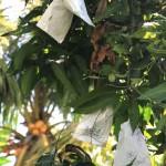 Kỹ thuật bao trái cây trồng bằng giấy
