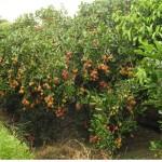 Kỹ thuật để cây Chôm Chôm ra nhiều trái