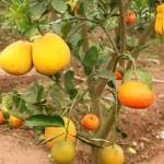 Kỹ thuật ghép một số loại cây ăn quả