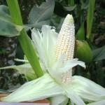 Kỹ thuật mới trồng Ngô nếp