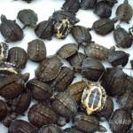 Kỹ thuật nuôi Rùa thương phẩm