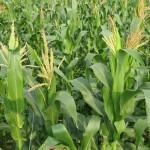 Kỹ thuật trồng Bắp ( Ngô ) non - ky thuat trong bap ngo non 150x150
