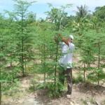 Kỹ thuật trồng cây Chùm Ngây - ky thuat trong cay chum ngay 150x150