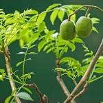 Kỹ thuật trồng cây Cóc Thái Lan