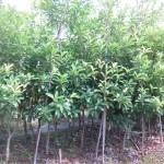 Kỹ thuật trồng cây Hồng Xiêm
