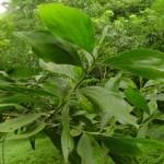 Kỹ thuật trồng cây Keo Tai Tượng