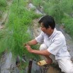 Kỹ thuật trồng cây Măng Tây xanh - ky thuat trong cay mang tay xanh 150x150