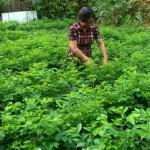 Kỹ thuật trồng rau Ngót
