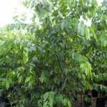 Kỹ thuật trồng cây Sao Đen