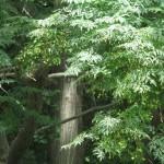 Kỹ thuật trồng cây Xoan Đào - ky thuat trong cay xoan dao 150x150
