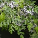 Kỹ thuật trồng cây Xoan ta
