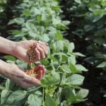Kỹ thuật trồng đậu nành (đậu tương)