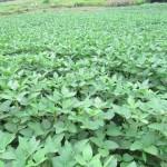 Kỹ thuật trồng đậu tương ( đậu nành )