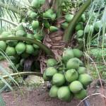 Kỹ thuật trồng dừa Xiêm hiệu quả