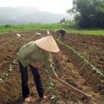 Kỹ thuật trồng Khoai Lang đông
