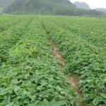 Kỹ thuật trồng Khoai lang Nhật