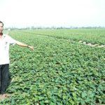 Kỹ thuật trồng khoai Lang tím - ky thuat trong khoai lang tim 1 150x150