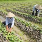 Kỹ thuật trồng khoai Lang tím