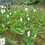 Kỹ thuật trồng khoai Sọ đồi - ky thuat trong khoai so doi 1 150x150