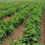 Kỹ thuật trồng Khoai Tây bằng 'Hạt' nhân tạo - ky thuat trong khoai tay bang hat nhan tao 150x150