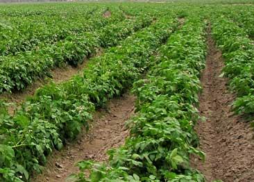 Kỹ thuật trồng Khoai Tây bằng 'Hạt' nhân tạo - ky thuat trong khoai tay bang hat nhan tao