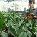 Kỹ thuật trồng Lan Hồ Điệp