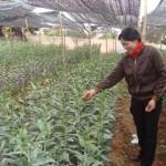 Kỹ thuật trồng lily trong nhà che đơn giản