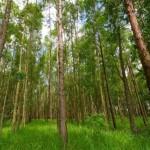 Kỹ thuật trồng rừng Bạch Đàn – Eucalyptus
