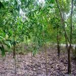 Kỹ thuật trồng rừng Keo lá Tràm - ky thuat trong rung keo la tram 150x150