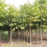 Kỹ thuật trồng Sấu để làm giàu rừng
