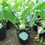 Kỹ thuật trồng su hào Hàn Quốc - ky thuat trong su hao han quoc 150x150