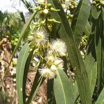 Kỹ thuật trồng và chăm sóc cây Bạch Đàn