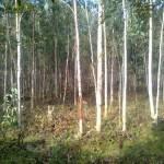 Kỹ thuật trồng và chăm sóc cây Bạch Đàn Trắng