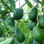 Kỹ thuật trồng và chăm sóc cây Bơ - ky thuat trong va cham soc cay bo 1 150x150