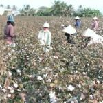 Kỹ thuật trồng và chăm sóc cây Bông Vải - ky thuat trong va cham soc cay bong vai 150x150