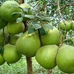 Kỹ thuật trồng và chăm sóc cây Bưởi Năm Roi