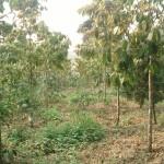 Kỹ thuật trồng và chăm sóc cây Chò chỉ