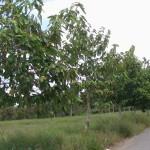 Kỹ thuật trồng và chăm sóc cây Dầu rái