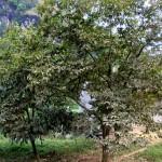 Kỹ thuật trồng và chăm sóc cây Dẻ đỏ
