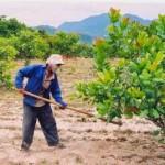 Kỹ thuật trồng và chăm sóc cây Điều - ky thuat trong va cham soc cay dieu 150x150