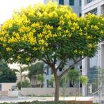 Kỹ thuật trồng và chăm sóc cây Giáng hương( Đinh hương)