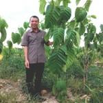 Kỹ thuật trồng và chăm sóc cây Giổi xanh