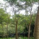 Kỹ thuật trồng và chăm sóc cây Sưa