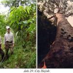 Kỹ thuật trồng và chăm sóc cây Huỷnh - ky thuat trong va cham soc cay huynh 150x150