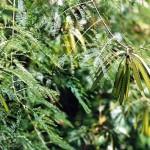 Kỹ thuật trồng và chăm sóc cây Keo Dậu