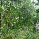 Kỹ thuật trồng và chăm sóc cây Keo lá liềm