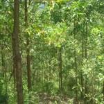 Kỹ thuật trồng và chăm sóc cây Keo lá tràm - ky thuat trong va cham soc cay keo la tram 150x150