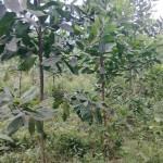 Kỹ thuật trồng và chăm sóc cây Keo tai tượng - ky thuat trong va cham soc cay keo tai tuong 150x150
