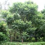 Kỹ thuật trồng và chăm sóc cây Lát hoa - ky thuat trong va cham soc cay lat hoa 150x150